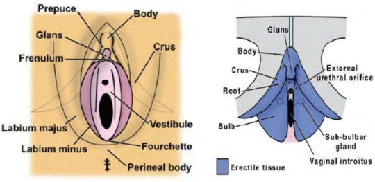 clitorisul si tesutul erectil vulvo-vaginal - excitare